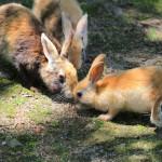 Koko saari täynnä pupuja! Japanin Ōkunoshima-saarella valtaa pitävät kaniinit